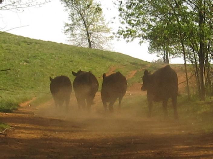 Run Cows Run - Photo by Blair Jackson